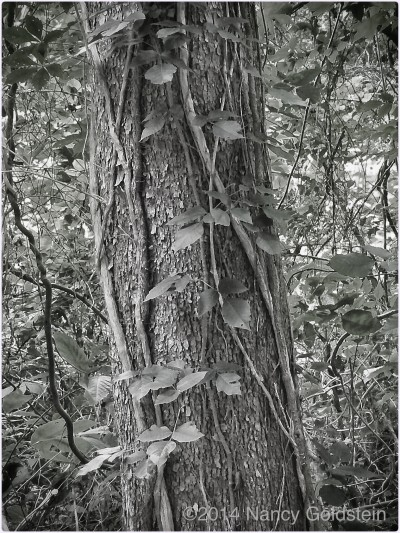 B/W image of tree trunk wrapped with vi es