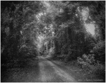 B/W photo, Canal Road, Dismal Swamp State Park, NC